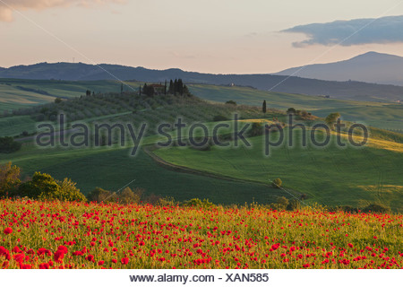 Italy, Tuscany, Crete, View of poppy field in front of farm at sunrise - Stock Photo