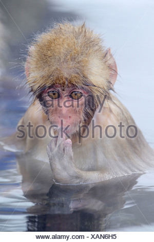 Young Japanese Macaque or Snow Monkey (Macaca fuscata), sucking finger, Affenpark Jigokudani, Nagano Präfektur, Japan - Stock Photo