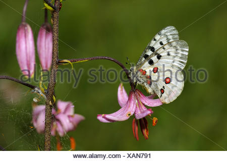 apollo (Parnassius apollo), resting on Turk's cap lily; Lilium martagon, Germany, Baden-Wuerttemberg - Stock Photo