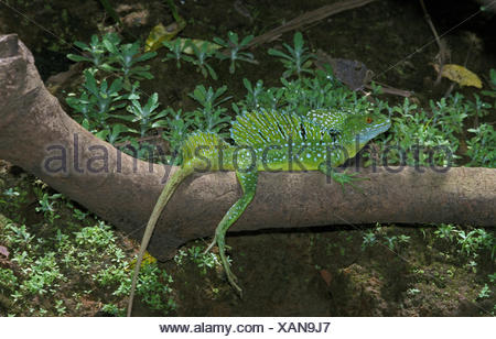 GREEN BASILISK LIZARD OR DOUBLE-CRESTED BASILISK LIZARD basiliscus plumifrons, ADULT ON BRANCH, COSTA RICA - Stock Photo