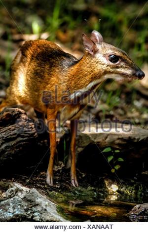 Thailand, Kaeng Krachan, Java mouse-deer, Tragulus javanicus - Stock Photo