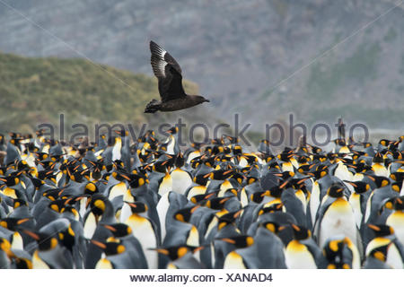 A brown skua flies over a king penguin colony on Gold Harbour. - Stock Photo