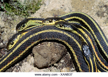 Adult male red-sided garter snakes (Thamnophis sirtalis) court a female during the spring mating season, Manitoba, Canada - Stock Photo