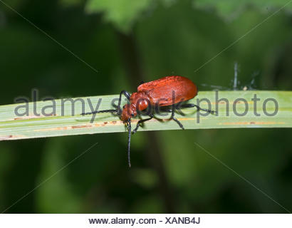 Common Cardinal beetle (Pyrochroa serraticornis) also known as Red-headed Cardinal Beetle Norfolk - Stock Photo