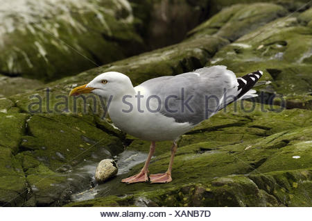 herring gull (Larus argentatus), feeding on auk egg, United Kingdom, England, Northumberland, Farne Islands - Stock Photo
