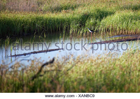 Black-Winged Stilt bird - Stock Photo