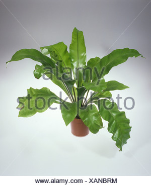 Bird's Nest Fern (Asplenium nidus) houseplant on a neutral background - Stock Photo