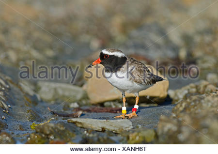 shore dotterel or shore plover (Thinornis novaeseelandiae) Mangere Island North Island New Zealand - Endangered species with wor - Stock Photo