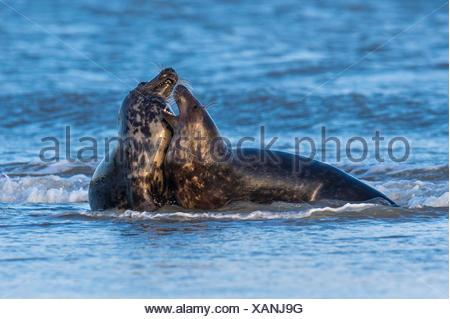 grey seals, halichoerus grypus, helgoland, north sea, germany - Stock Photo