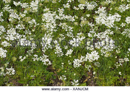 White lace flower, White laceflower, Minoan Lace (Orlaya grandiflora, Caucalis grandiflora), blooming, Germany - Stock Photo