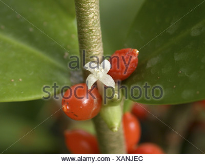 ant plant (Hydnophytum formicarium), flower and fruits, the excavete tubers inhabited by stinging ants - Stock Photo