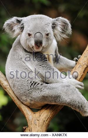 Koala bear (Phascolarctos cinereus) captive - Stock Photo