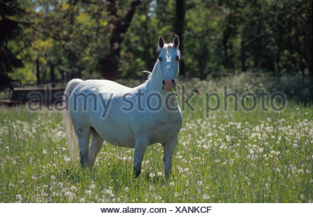Lipizzaner horse (Equus przewalskii f. caballus), mare on dandalion meadow - Stock Photo