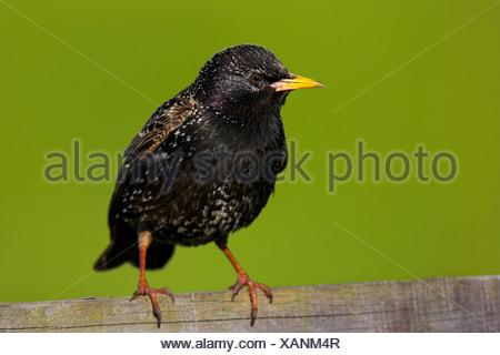 common starling (Sturnus vulgaris), sitting on a wooden fence, Netherlands, Texel - Stock Photo