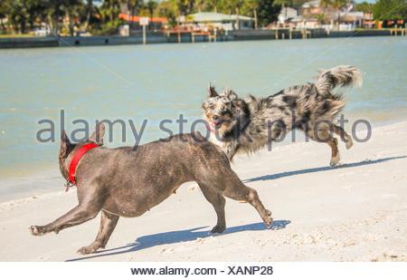 Miniature Australia Shepherd dog and French bulldog running along beach - Stock Photo