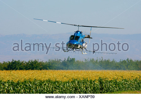 Agriculture - Helicopter crop duster spraying a maturing corn crop / near Tracy, San Joaquin County, California, USA. - Stock Photo
