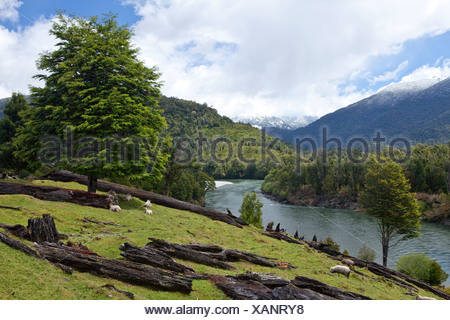 Sheep grazing on the banks of the Rio Palena river, Carretera Austral, Ruta CH7 road, Panamerican Highway, Region de Aysen - Stock Photo