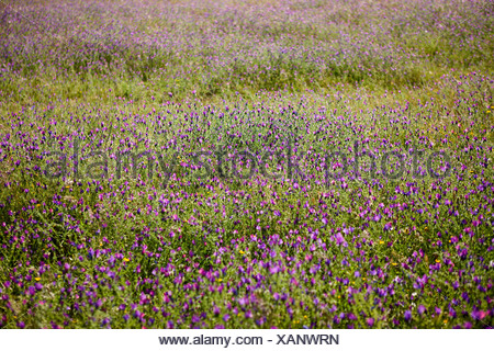 A mass of purple wildflowers in a meadow - Stock Photo