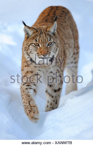 Eurasian lynx (Lynx lynx), adult in deep snow, Germany, Bavaria, Bavarian Forest National Park - Stock Photo