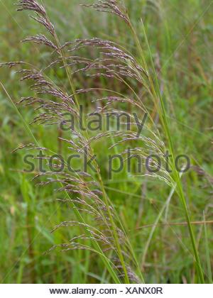 tufted hair-grass (Deschampsia cespitosa), panicles, Germany - Stock Photo