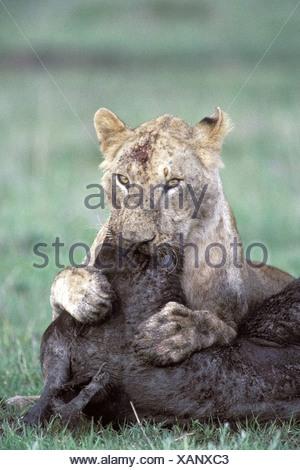 lion (Panthera leo), lioness feeding on killed bufallo, biting into the head, Kenya - Stock Photo