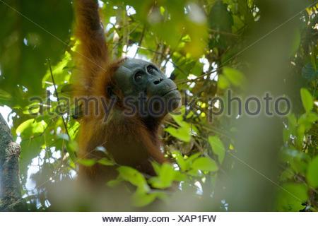 An adult female Bornean orangutan, Pongo pygmaeus wurmbii, rests in a tree in Gunung Palung National Park. - Stock Photo