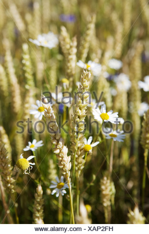 Field of wheat and oxeye daisys Sweden. - Stock Photo