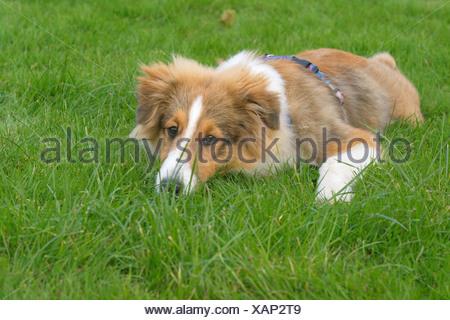 Shetland Sheepdog (Canis lupus f. familiaris), young Shetland Sheepdog lying bored on grass - Stock Photo