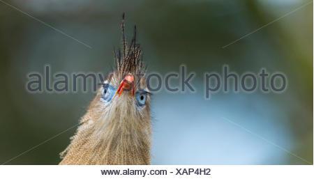 Red-legged Seriema (Cariama cristata) portrait captive Apenheul Park Netherlands. - Stock Photo