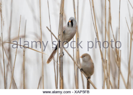 Bearded reedling - Stock Photo