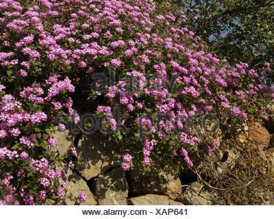 lantana (Lantana camara), blooming on a wall, Spain, Balearen, Majorca - Stock Photo