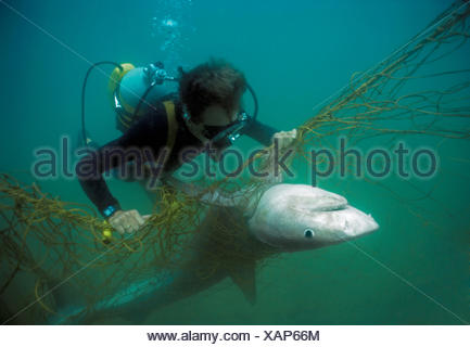 Sequence 2/3 Diver with anti-shark POD examininf Tiger shark (Galeocerdo cuvier) caught in anti-shark net off Durban Beach, Natal, South Africa. - Stock Photo