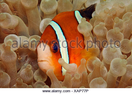 Clownfish (Amphiprioninae) in Sea anemone (Actiniaria), Philippines - Stock Photo