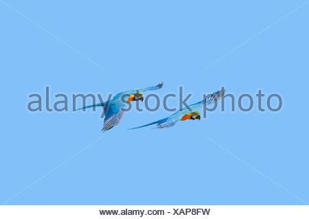 Blue-and-yellow Macaw (Ara ararauna), pair in flight, native to South America, captive, Germany - Stock Photo