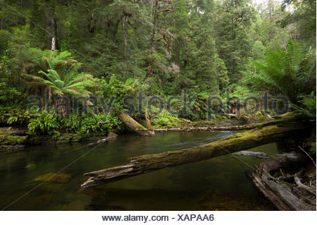 The tannin stained waters of the Styx River flows through a forest of ferns and tall trees. - Stock Photo