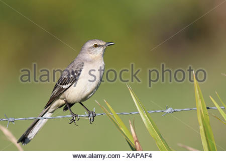 Northern mockingbird (Mimus polyglottos), sits on a barbed wire, USA, Florida, Kissimmee - Stock Photo