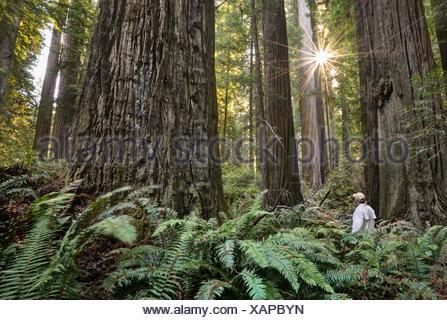 USA, California, Redwood National (and State) Park, Hiker Among Giant Redwood Trees