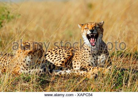 cheetah (Acinonyx jubatus), two cheetahs resting, one of them yawning, Kenya, Masai Mara National Park - Stock Photo