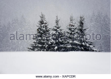 Norway spruce forest in winter - Stock Photo