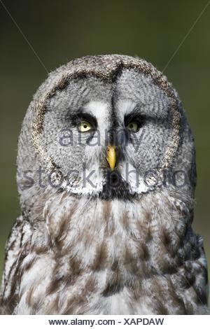 Bartkauz, strix nebulosa, European Grey Owl - Stock Photo