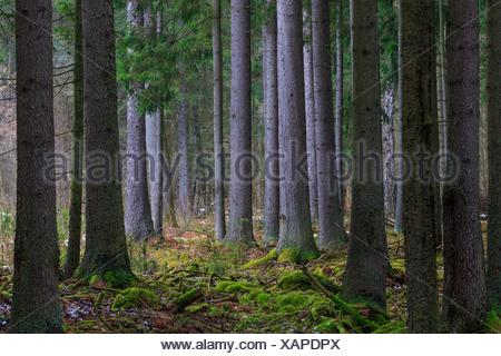Coniferous stand of spruces in winter cloudy morning, Bialowieza Forest, Poland, Europe. - Stock Photo