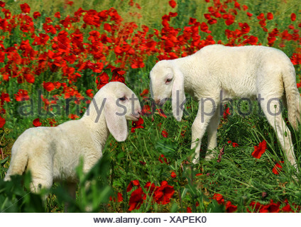 sheep - two lambs on meadow with poppies / Ovis Aries - Stock Photo