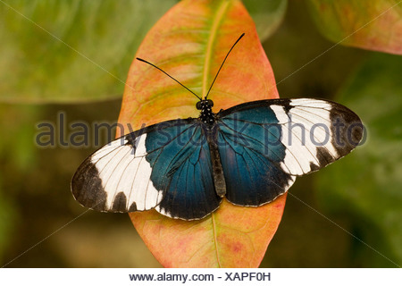 Close-up of a Sapho Longwing butterfly (Heliconius sapho) - Stock Photo