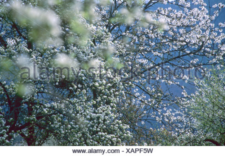 Spring; flowering fruit tree, Germany, Baden-Wuerttemberg, Odenwald, Breitenstein - Stock Photo