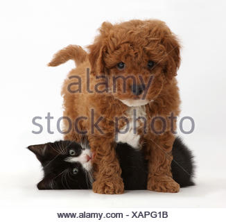 Black-and-white kitten, Solo, 7 weeks, playing with F1b toy Cavapoo (Cavalier King Charles Spaniel cross Poodle) puppy. - Stock Photo