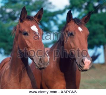 Hungarian Thoroughbred Horse - Stock Photo