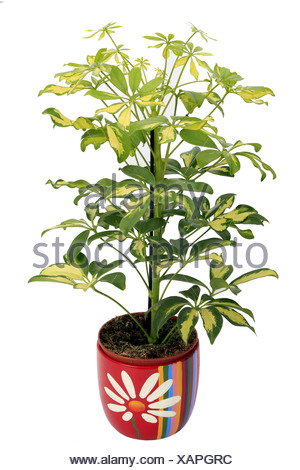 dwarf schefflera (Schefflera arboricola), plant in colourful pot, variegates leaves - Stock Photo