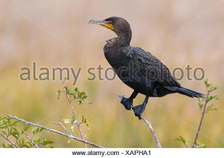 Double-crested Cormorant (Phalacrocorax auritus) - Viera Wetlands Florida - Stock Photo