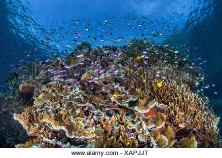 Colorful Anthias in Coral Reef, Pseudanthias tuka, Melanesia, Pacific Ocean, Solomon Islands - Stock Photo