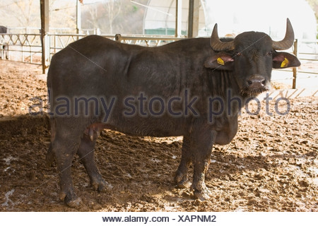 Bison for mozzarella production - Stock Photo
